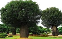 武汉:68株大树夜间进城 绿化公司低温抢栽大树