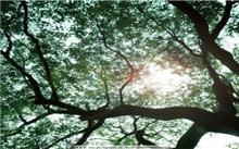 """杭州:120岁香樟树被""""蛀""""空了"""
