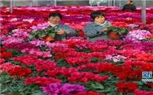 天津:花市升温 迎春花卉陆续上市