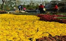 银川:大规模引种菊花