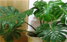 洛阳:龟背竹开花 难见赛铁树