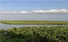 海南:只见树干不见树叶 东寨港红树林成片枯死