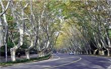 南京:难觅完整林荫大道 新建景观路中看不中用