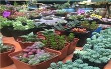 广西:红豆杉盆栽首次大规模进入玉林花卉市场