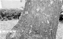 杭州:星洲翠谷小区的怪虫只咬乌桕树 治不好只好砍树