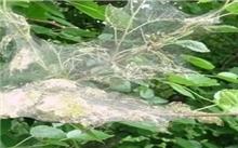青岛:白蛾幼虫泛滥成灾 把冬青吃成光杆司令