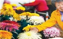 北京:70个新品种菊花问世