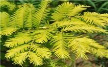 金叶水杉表现