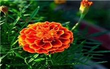 三季有花的孔雀草