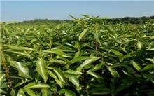 潢川:农民花木种植特色经济 年薪逾70万