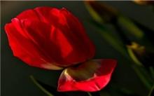为什么郁金香有蕾难开花