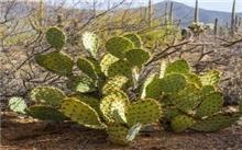 沙漠甘泉--仙人掌