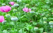 如何区分虞美人和罂粟花