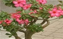 盆栽夹竹桃