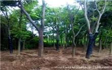 园林绿化苗木--悬铃木(图)