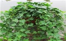常春藤的盆栽