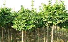 园林绿化苗木--楸树(图)