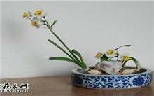 家庭如何养水仙花