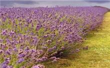 薰衣草的花语的由来是什么?