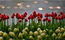 郁金香连续三年开花
