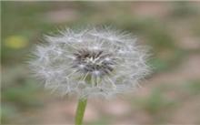 白花蒲公英Taraxacum leucanthum (Ledeb.) Ledeb