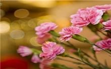 康乃馨 Dianthus caryophyllus L