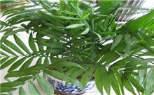 夏威夷椰子的繁殖管理