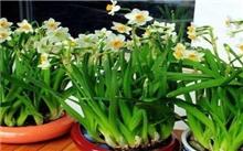 水仙花的养殖
