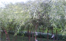 垂柳-苗木种植