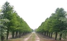 湖南红豆杉