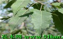 茶条槭 [槭树科] Acer ginnala