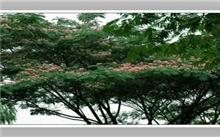 合欢树枯死的原因及防治措施
