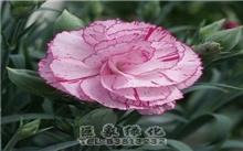 康乃馨的花语与传说