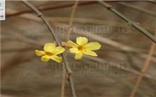 迎春花Jasiminum nudiflorum