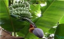 芭蕉药用价值|芭蕉营养价值|芭蕉价值