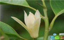白兰花的一种枝接繁殖方法