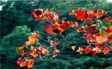 红叶乌桕--园林植物新宠