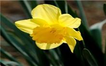 黄水仙生长习性