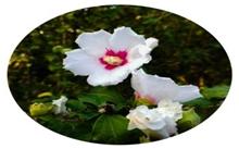 木槿花的花语
