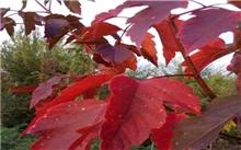 彩叶观赏树木--红叶乌桕(图)