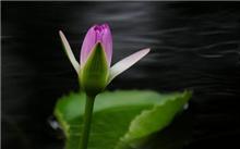 埃及兰睡莲 [睡莲科] [睡莲属]