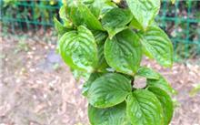 山茱萸Cornus kousa var. chinensis