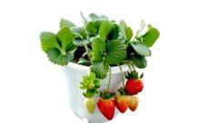 草莓的盆栽技巧