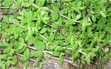 垂盆草的繁殖管理