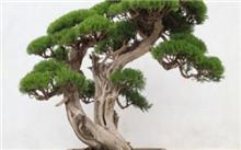 侧柏盆景的造型与养护