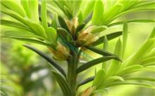 矮灯心草 [红豆杉科] [红豆杉属]