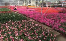 上海:最大的专业花卉交易市场--精盛花市开张