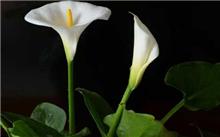 盆栽马蹄莲的养护技术