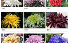菊花的花语