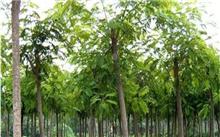 园林绿化苗木--合欢树(图)